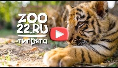 Тигрята Барнаульский зоопарк 2018